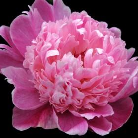 HO012 Pink Peony