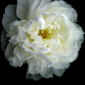 HO013 Delicate Rose