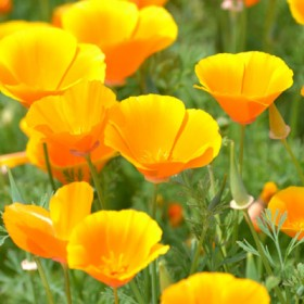 HO016 Californian Poppies