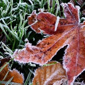 SC078 Frosty Leaf