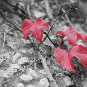 SC086 Red Leaf