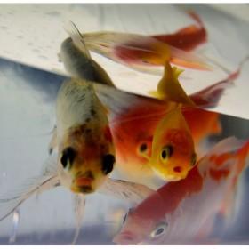 SC135 Goldfish I
