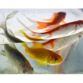SC138 Goldfish IV