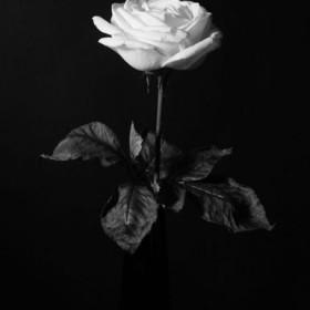 SC166 Specimen Rose