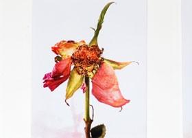 ME112 Three Roses