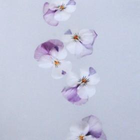 ME127 Delicate Violas