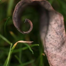 SC236 Curled Leaf