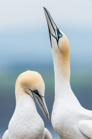 WEBCC photo: 'Courting Gannets' by Matthew Cattell - Gold Award. Click to see larger picture.